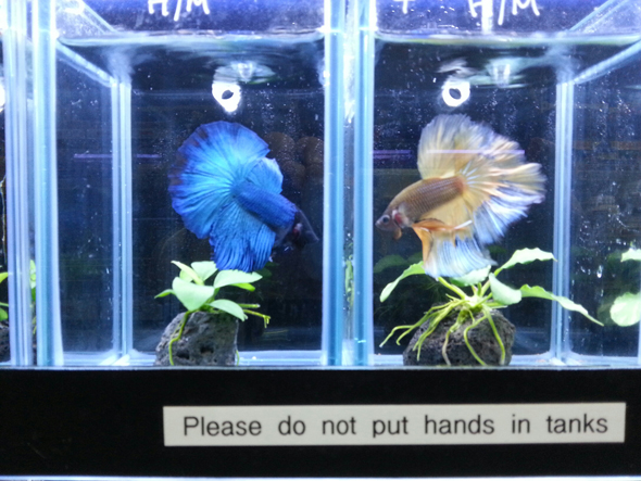 Fancy Fighting Fish BC Aquarium